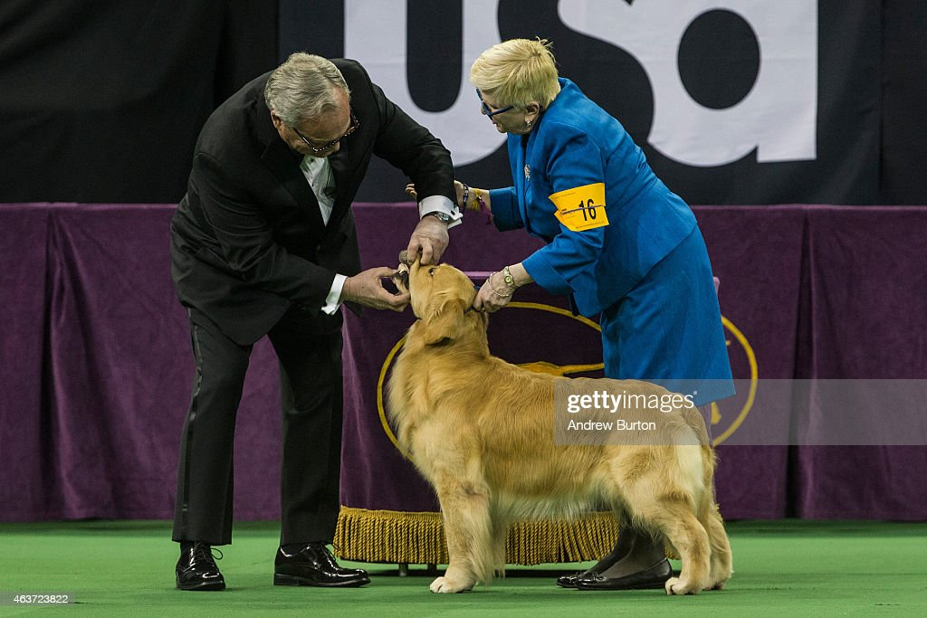 Golden Retriever is evaluated during the Sporting Group round of the Westminster Kennel Club dog show on February 17 2015 in New York City The show...