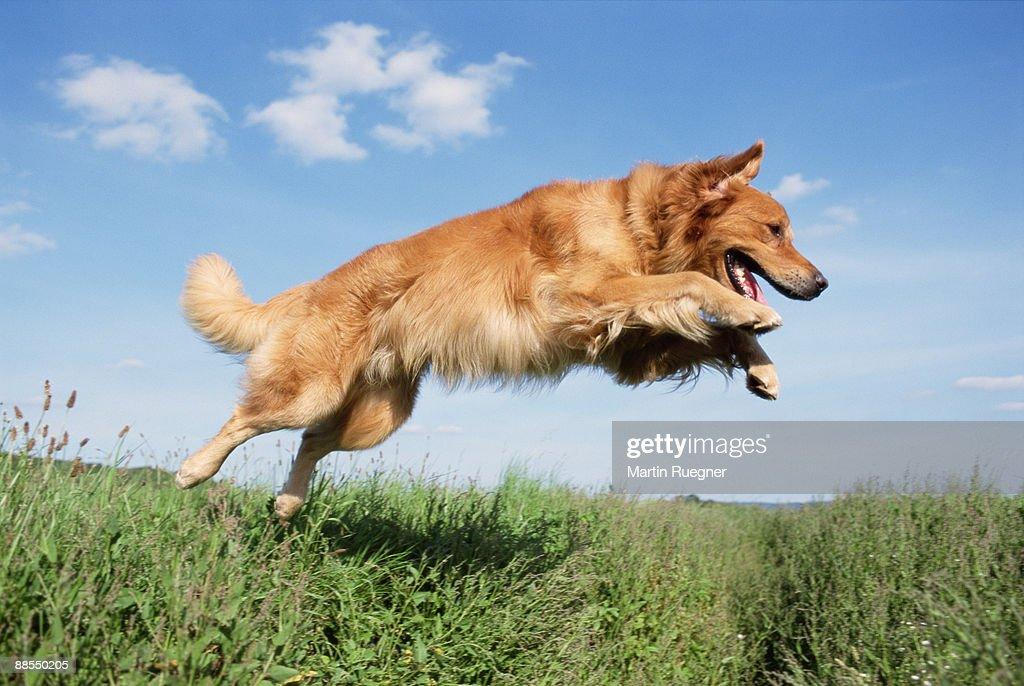 Golden Retriever jumping : Stock Photo