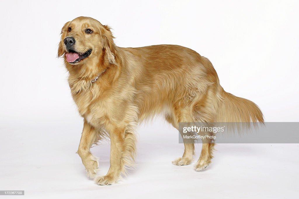 Golden Retriever leg up