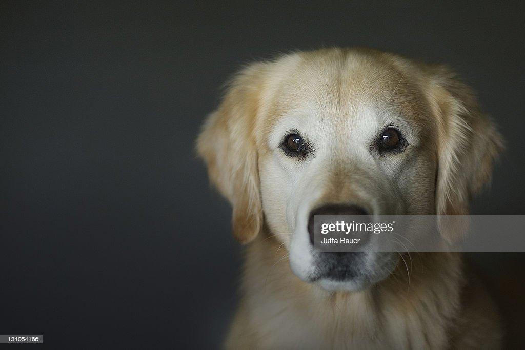 Golden retriever looking into camera : Stock Photo