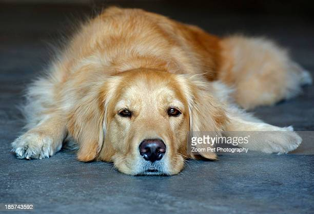 Golden retriever lying down