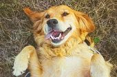 golden retriever lying on back