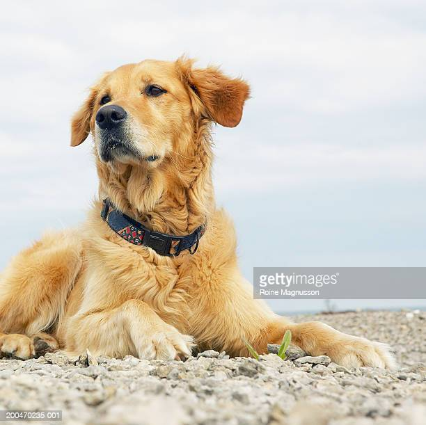 Golden retriever lying on rocky beach, looking away