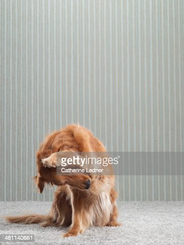 Golden Retriever on Carpet and Wallpaper