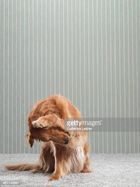 Golden Retriever on Carpet and Wallpaper