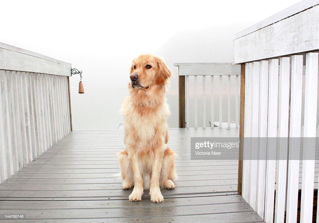 Golden retriever on dock : Stock Photo