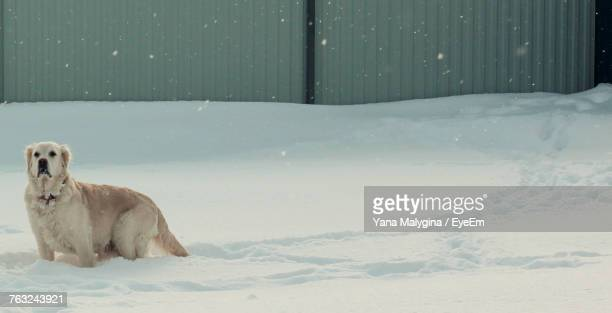 Golden Retriever On Snow Covered Field During Snowfall