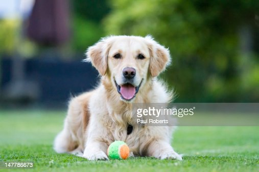 Golden Retriever : Stock Photo