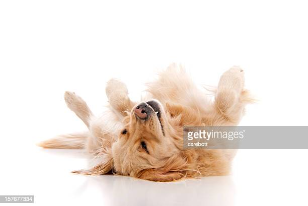 Golden retriever playing dead on a white background