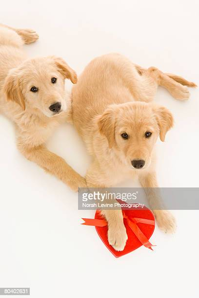 Golden Retriever puppies with heart shaped box