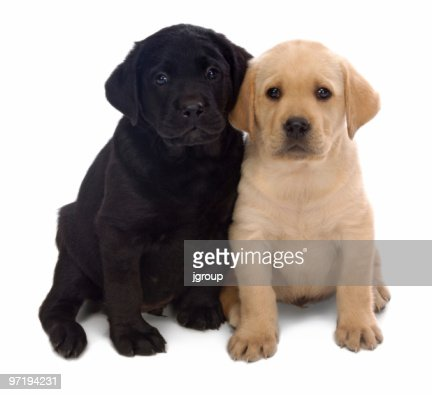 Golden Retriever Puppy And A Black Labrador Puppy Stock Photo