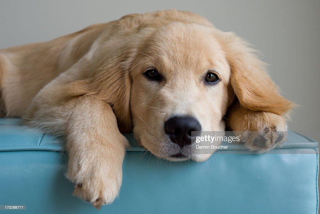 Golden retriever puppy at rest