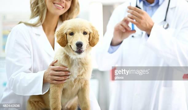 Golden Retriever puppy at vet's office.