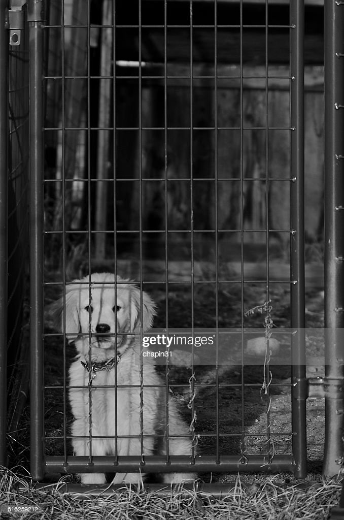 Golden Retriever Puppy Behind Kennel Gate : Foto de stock