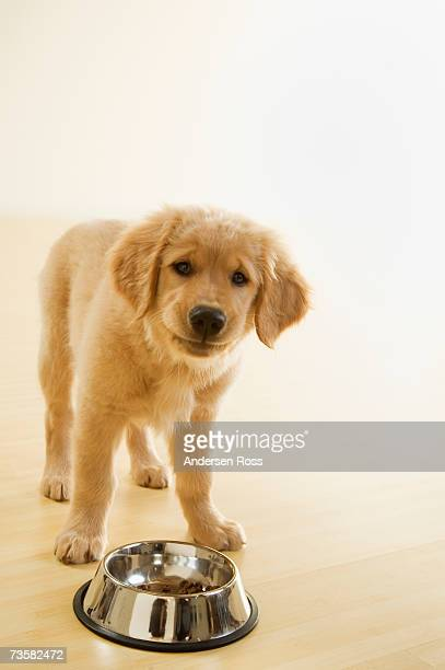 Golden Retriever puppy by food bowl