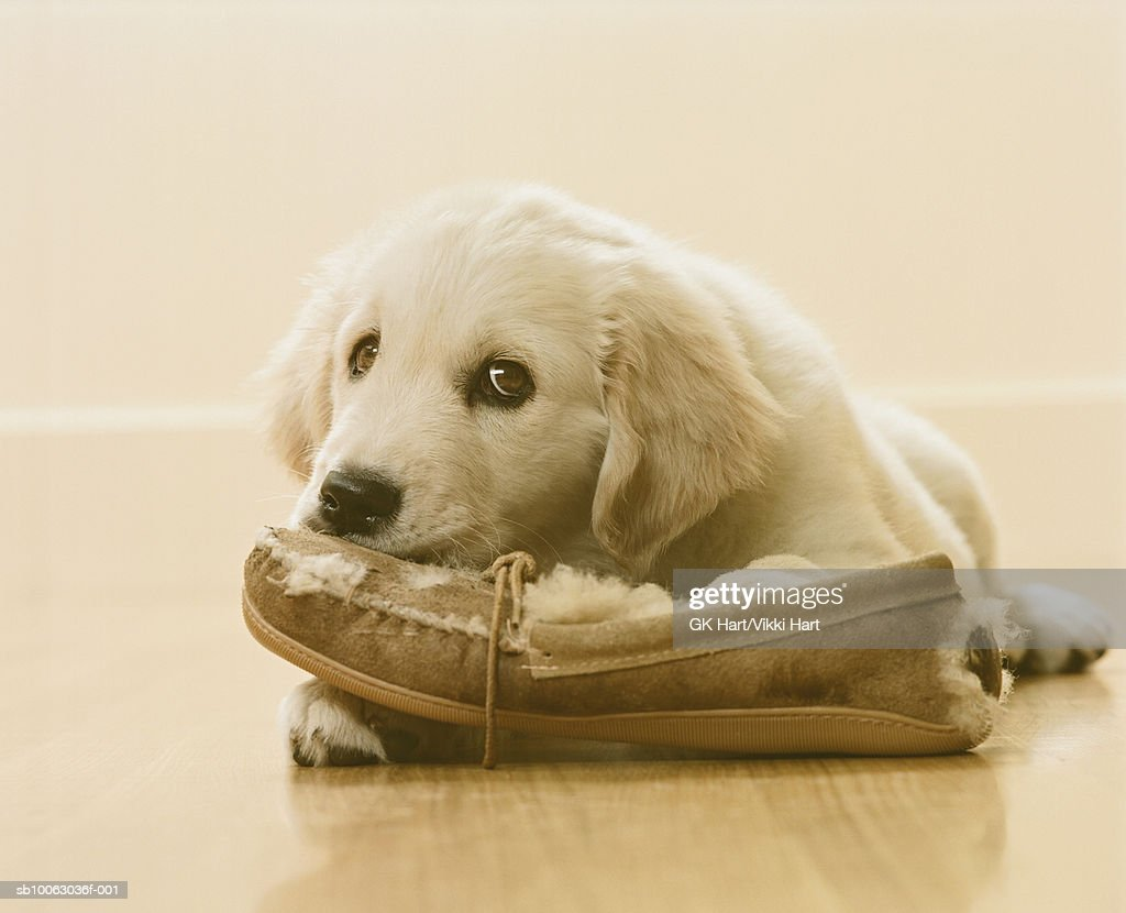 Golden Retriever Puppy chewing slipper on floor, close-up