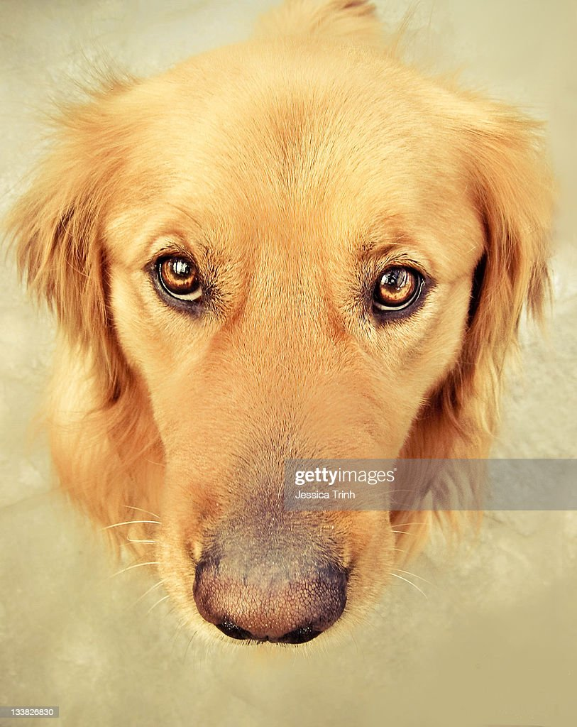Golden retriever puppy eyes : Stock Photo
