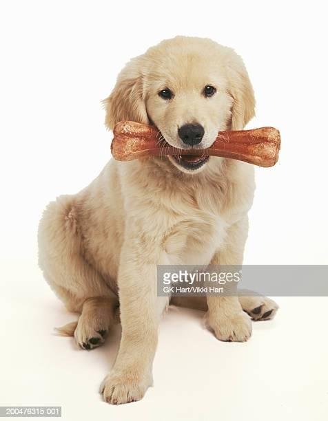 Golden retriever puppy holding bone against white background