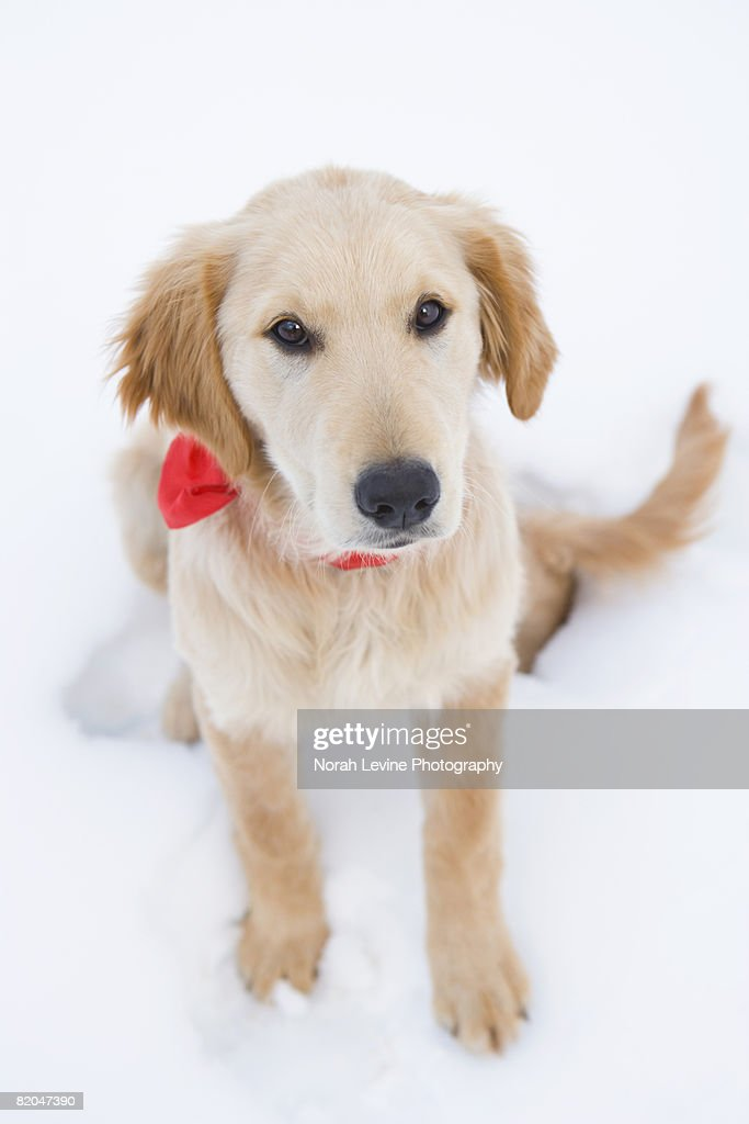 Golden Retriever Puppy In Snow Stock Photo | Getty Images