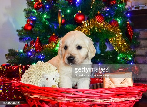 Golden Retriever Puppy Inside A Basket Full Of Gifts Under The Christmas  Tree Stock Photo | Getty Images