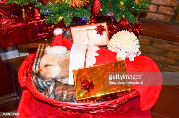 Golden retriever puppy inside a red sock and sleeping under the Christmas tree