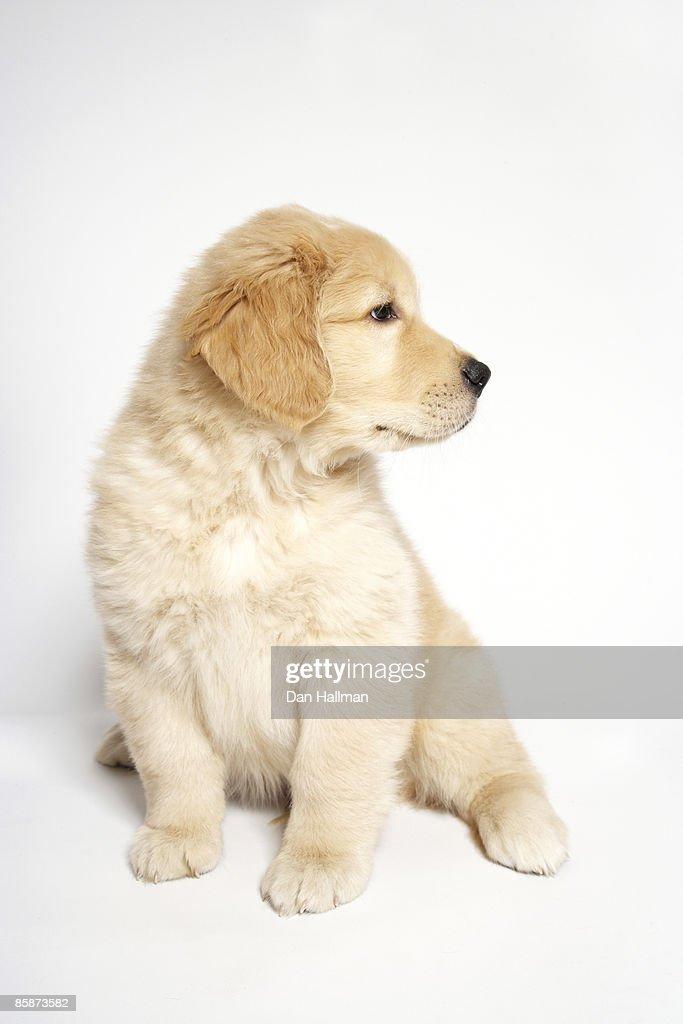 Golden Retriever puppy : Stock Photo