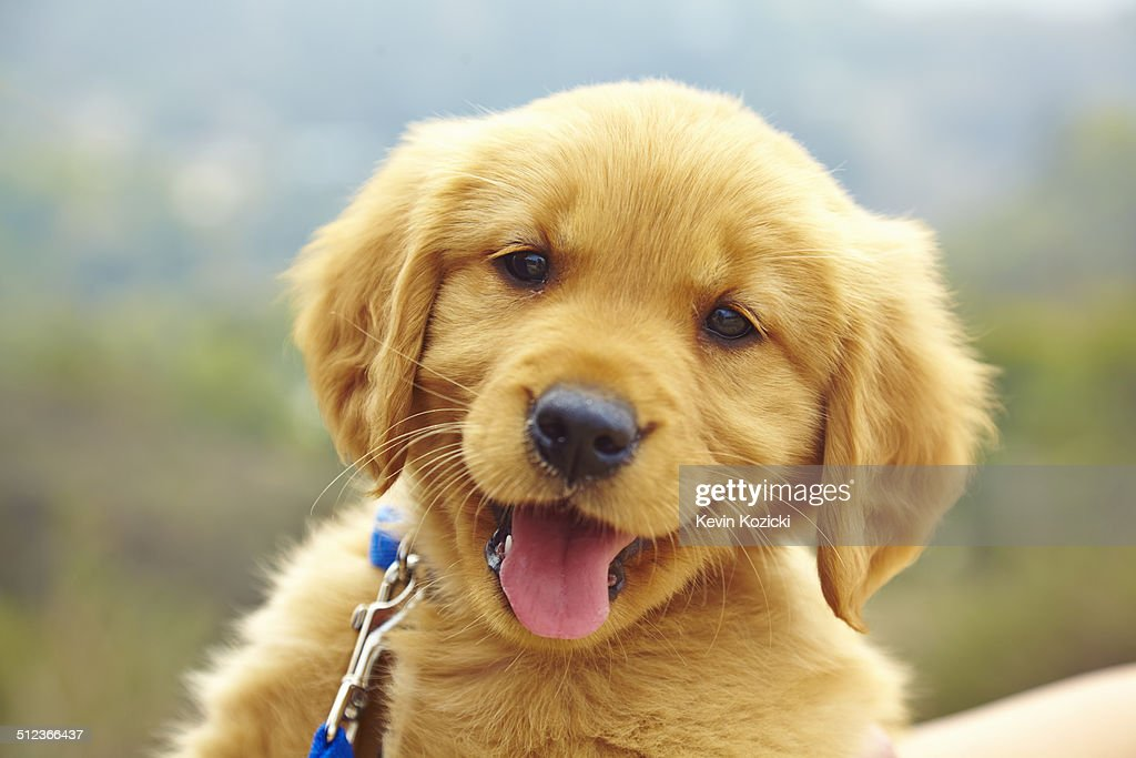 Golden Retriever puppy, portrait