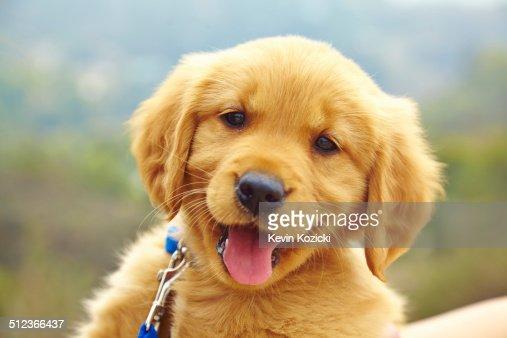 Golden Retriever puppy, portrait