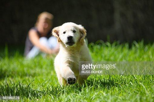 Golden Retriever puppy running on grass