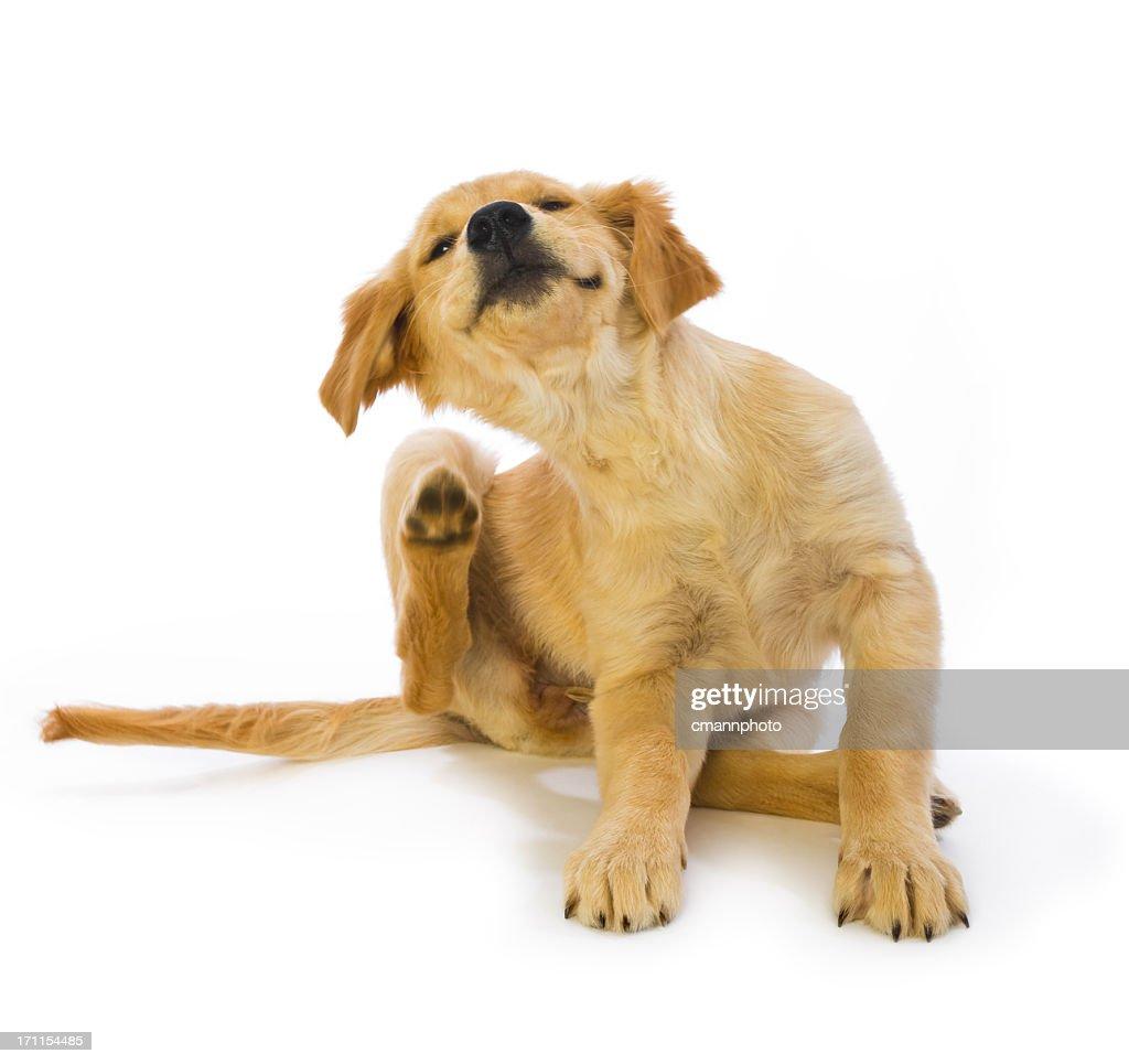 Golden Retriever Puppy Scratching fleas on white background