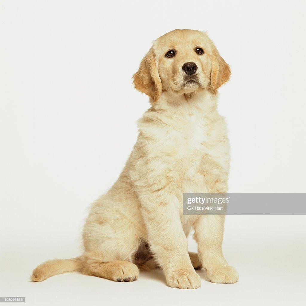 Golden Retriever Puppy Sitting on White