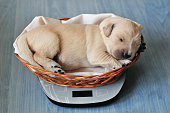 Golden retriever puppy sleeping in little basket
