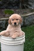 Golden retriever puppy stands in bucket