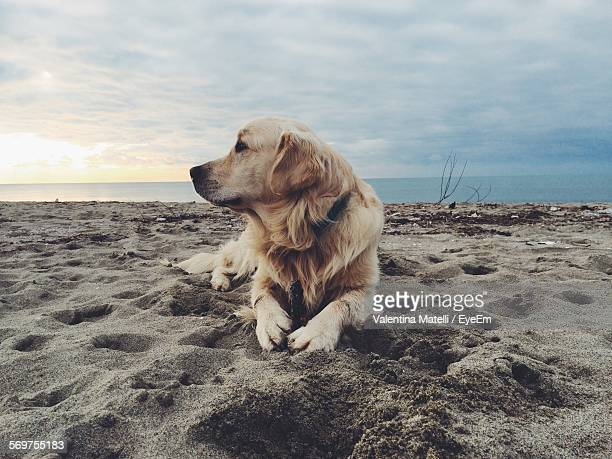 Golden Retriever Relaxing On Beach
