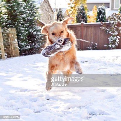 Golden retriever running in snow