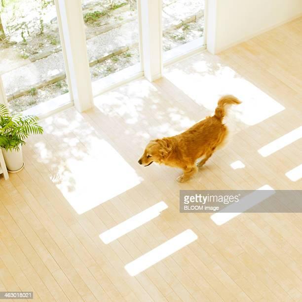Golden Retriever Running In The Room