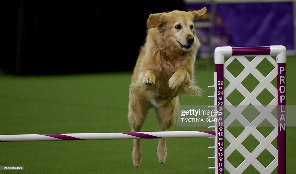 A Golden Retriever runs the agility course during the agility ring during the 3rd Annual Masters Agility Championship on February 13, 2016 in New York, at the 140th Annual Westminster Kennel Club Dog Show. Dogs entered in the agility demonstrate skills required in the challenging obstacles that they will need to negotiate. / AFP / Timothy A. CLARY