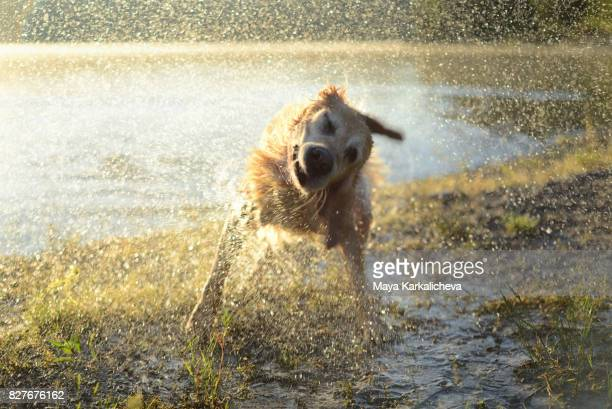 Golden retriever shaking off water at sunrise by the lake