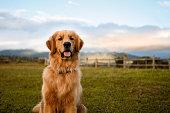Portrait of a golden retriever sitting down in a beautiful farm