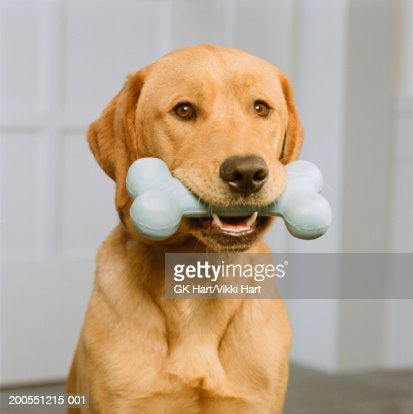 Golden retriever sitting in front of door holding bone in mouth, close-up