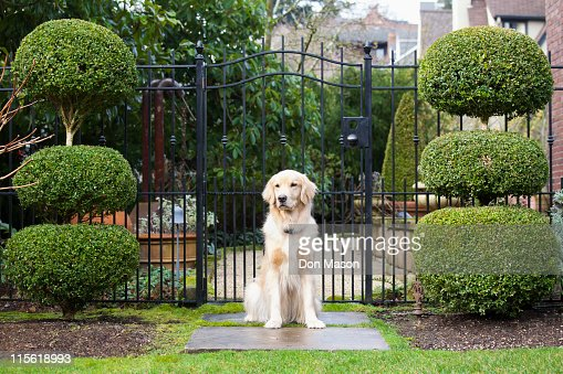 Golden retriever sitting in front of gate