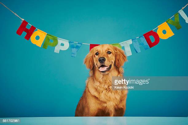 Golden retriever sitting in front of Happy Birthday sign