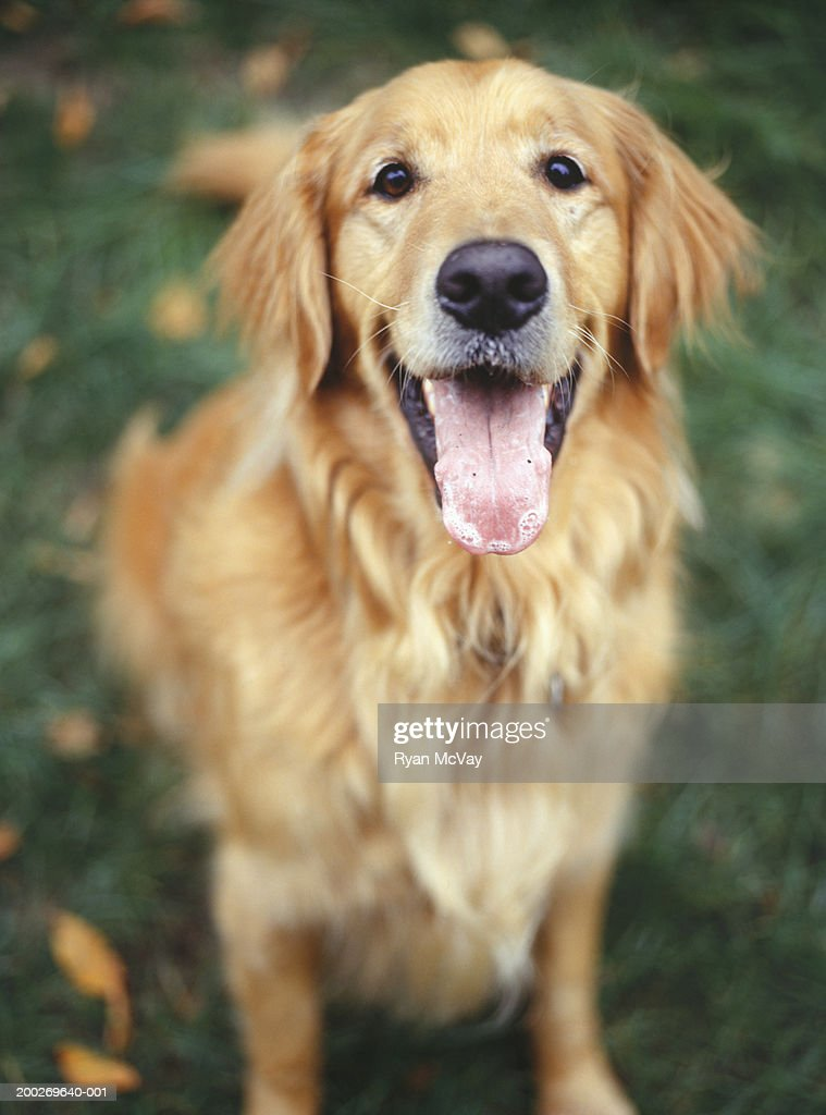 Golden Retriever sitting on grass, elevated view : Stock Photo