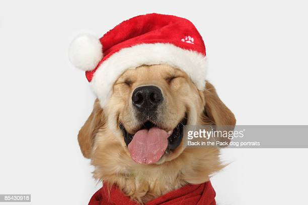 Golden retriever smiling Santa hat red scarf