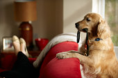 Golden retriever standing with leash in mouth looking at woman lying on sofa