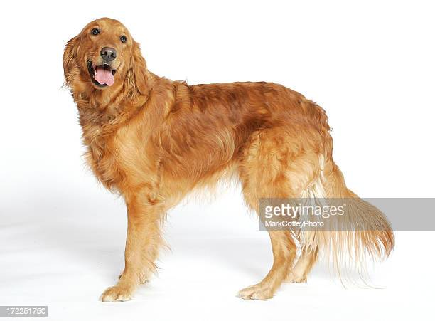 Golden Retriever actual