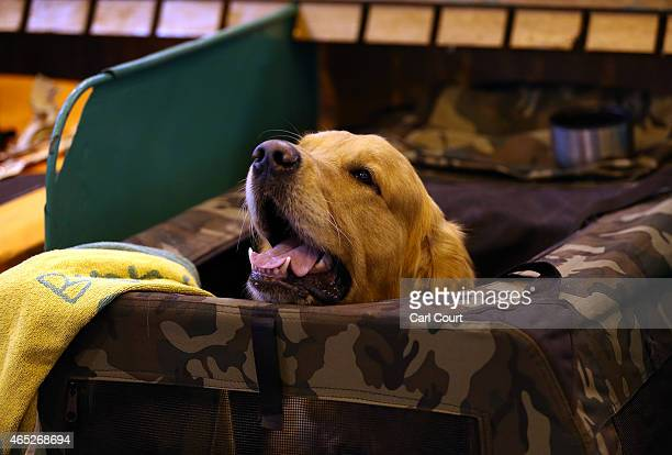 Golden Retriever sticks its head out from the top of its storage box on the first day of Crufts dog show at the National Exhibition Centre on March 5...