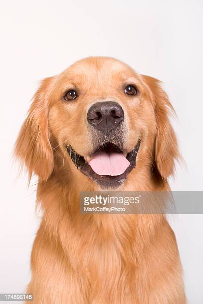 Golden Retriever tight shot
