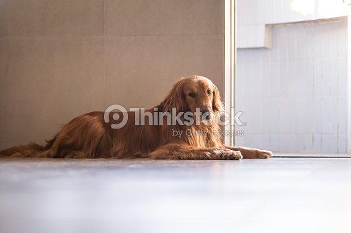 Golden retriever auf dem boden liegen stock foto thinkstock for Boden liegen