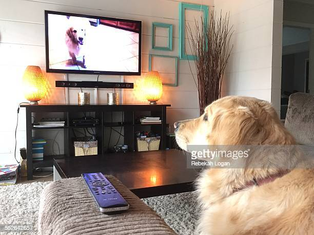 Golden Retriever watching another dog on the television